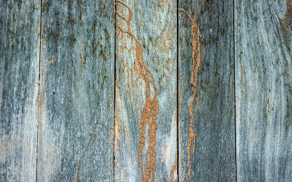 Termite track on wooden wall, texture of the old spoiled wood.